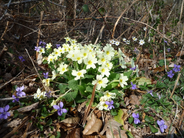 Primroses and dog violets (Martin Warren)