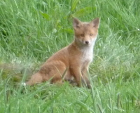 Fox cub (Martin Warren)