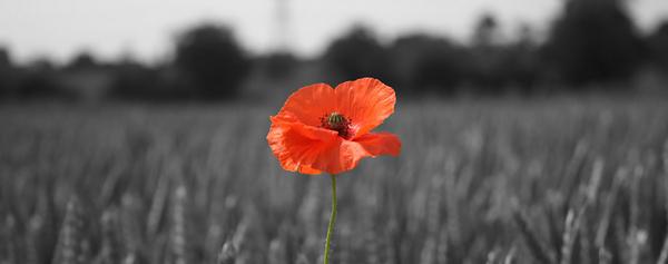 Poppy_in_wheat_field_1170x461