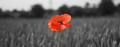 Poppy_in_wheat_field_1170x461